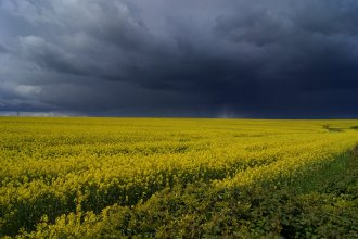 Rapeseed Field in Somerset