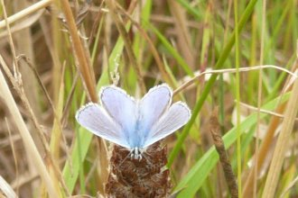 Chalk Hill Blue Butterfly Rye East Sussex