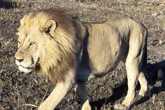 Male Lion Okavango Delta